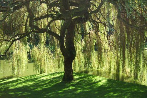 willow_tree